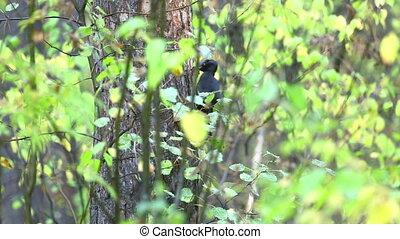 Black Woodpecker. - Black woodpecker on aspen tree.