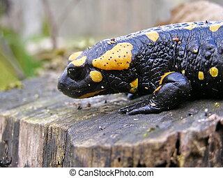 Black yellow dotted salamander