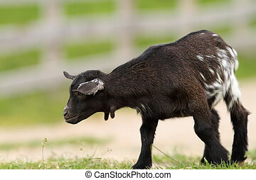 black young goat on farm alley