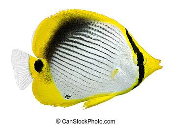 Black back Butterflyfish isolated on white background. Chaetodon melannotus