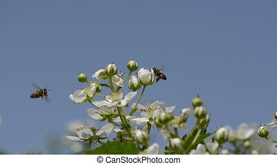 blackberries buds - small white buds of blackberries and two...