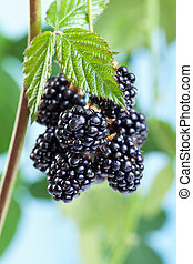 Blackberries growing and ripening on the twig - natural...