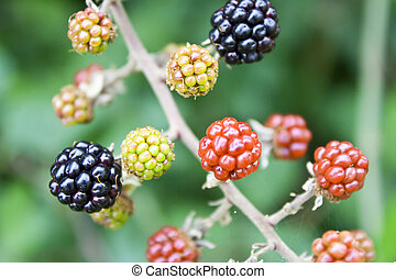 Blackberries on a tree in different colors