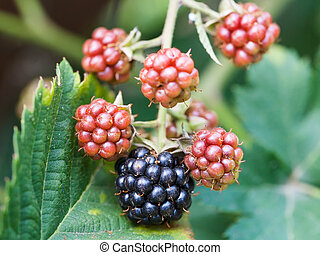 blackberries on leaves close up in garden