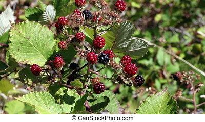 Blackberries On Vine Outdoors Movin - Tight Shot Of...