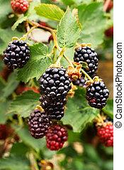 Blackberries - Ripe blackberries waiting to be picked,...