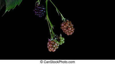 Blackberries ripen on black background, time lapse.