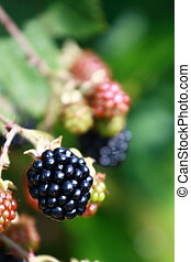 Blackberry - A ripe blackberry is ready to be picked. Notice...
