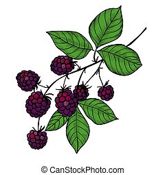 Blackberry branch drawing - Vector drawing of a blackberry...