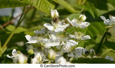blackberry bush blossoms and bee - blackberry bush white...