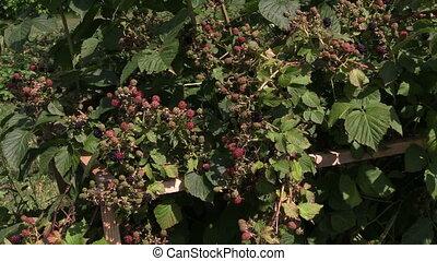 blackberry bush - Dewberry bush twigs covered with black...