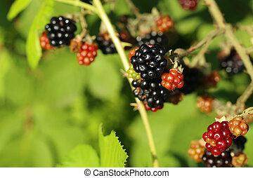 Blackberry bush in the garden