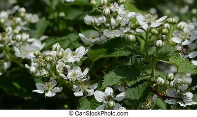 blackberry bush - bees fly from blackberry bushes flower to...