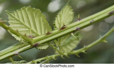 Blackberry Bush Thorns Closeup - Close up shot of the thorns...