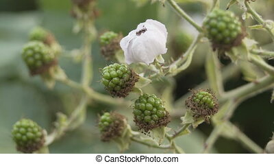 Blackberry Bush With Unripe Green Berries Closeup - Closeup...