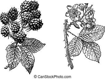 Blackberry flower, Blackberry fruit, vintage engraving. -...