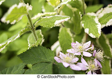 Blackberry flower