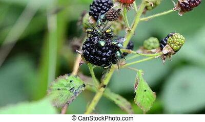 blackberry fly eat