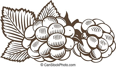 Blackberry in vintage style. Line art vector illustration.