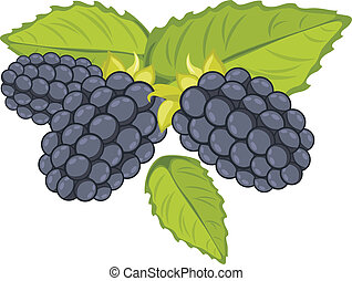 Blackberry isolated on the white. Vector illustration