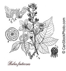 Blackberry or raspberry plant, botanical vintage engraving