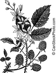 Blackberry or Rubus villosus vintage engraving - Blackberry...