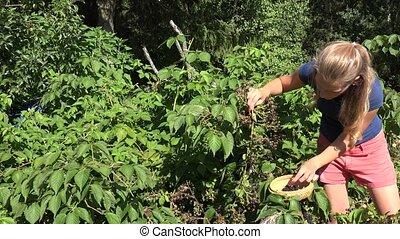 Blackberry picking by beautiful female farmer worker woman...