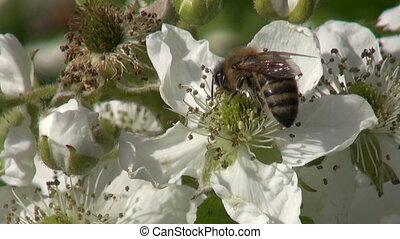 blackberry (Rubus caesius) blossoms and summer honey bee...