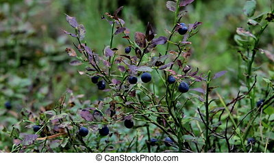 blackberry - forest blueberries in nature