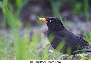 blackbird - Blackbird on green grass on a sunny day close up