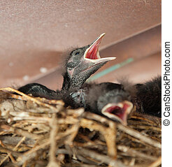 Blackbird Chick Seeking to be Fed