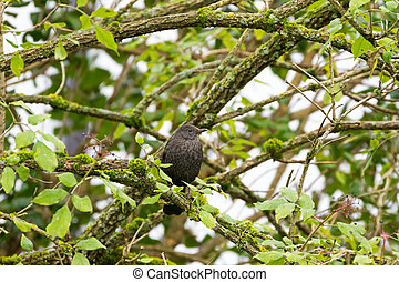 Blackbird, Common Blackbird, thrush with scaly perching on a...