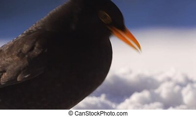 blackbird eating a apple
