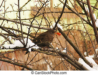 blackbird eating a cherry