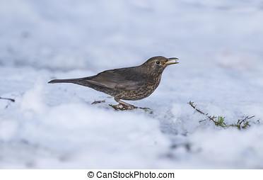 Blackbird, female, in the snow