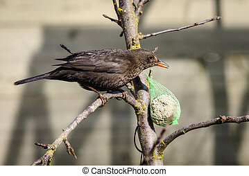 Blackbird in a tree with a birdfeeder with seeds in the...