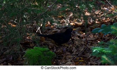 blackbird in autumn