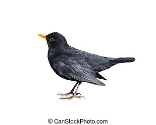Blackbird in profile isolated on white background.