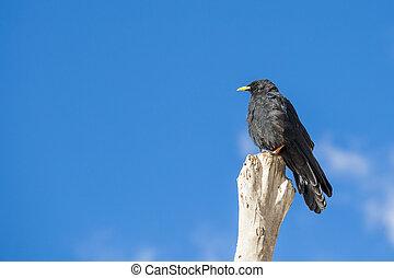 Blackbird in summertime - room for text