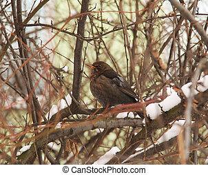 blackbird in the bush