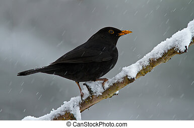 Blackbird in the snow