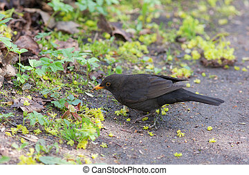 blackbird in the spring
