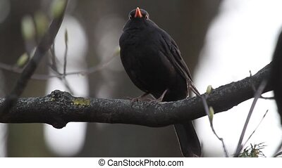 blackbird in twilight sitting on a branch