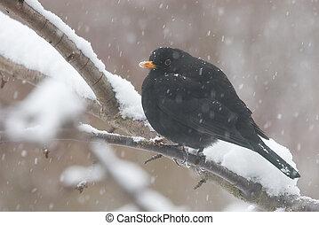 blackbird in winter - blackbird sitting on a snowy twig
