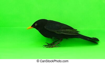 blackbird on a green screen