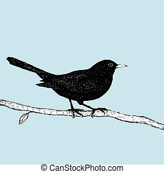 Blackbird pen drawing - An Indian ink pen drawing of a...