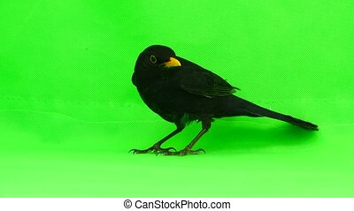blackbird running away from green screen