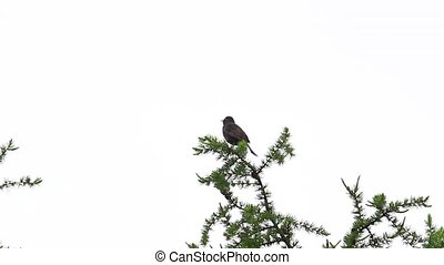 blackbird sings while sitting on a pine tree , wild nature