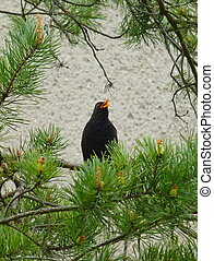 Blackbird sitting and singing on the branch of a pine tree