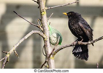 Blackbird sitting on a branch next to a birdfeeder in the...
